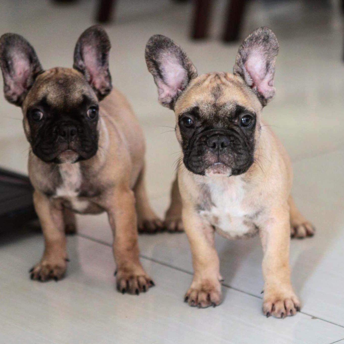 Quality Cream French Bulldog puppy