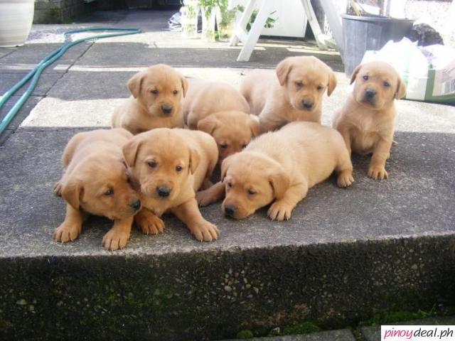 Labrador Retriever Puppies Now Ready To Leave Quezon Philippines Buy And Sell Marketplace Pinoydeal