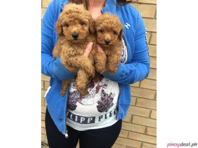 PEDIGREE TOY POODLE PUPPIES FOR SALE