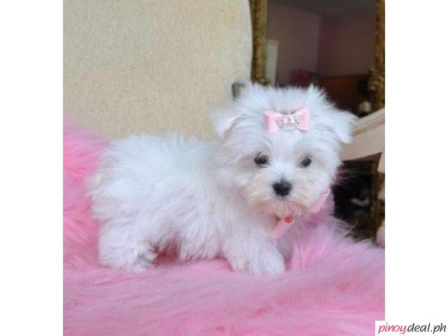 Adorable male and female Maltese  puppies ready now.