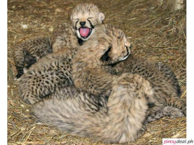 Available Cheetah Cubs, Tiger Cubs and Lion Cubs For sale
