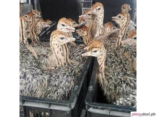 Available Ostrich Chicks For Sale