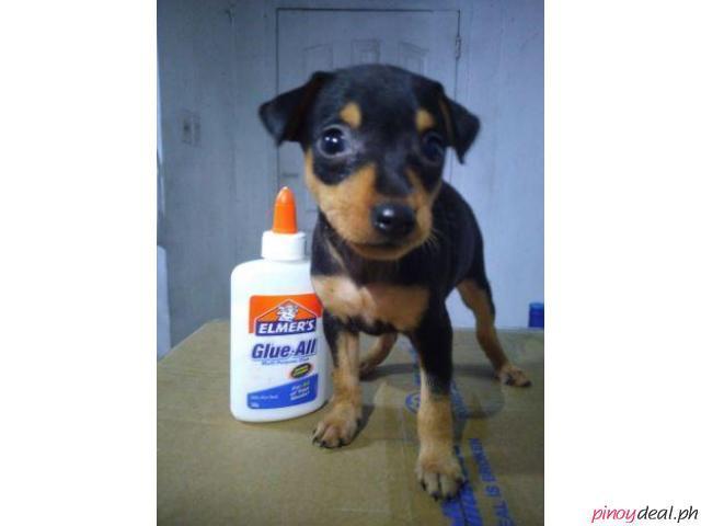Mini pin pincher Pinscher cute for sale